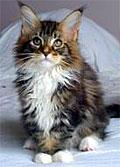 coon-cat-kitten