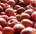 Maine Apple Orchards, Apple Growers