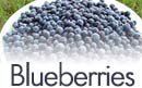Maine Wild Blueberry Picking PYO Fruit Maine